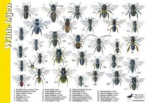 27 wilde bijen met hun onderscheidende kenmerken.