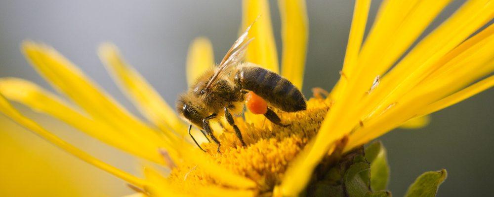 De Honing Koning